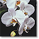 Orchids on Black - Design Collections from Colorful Images